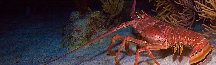 What Lobsters Can Tell Us About Stress and Growth
